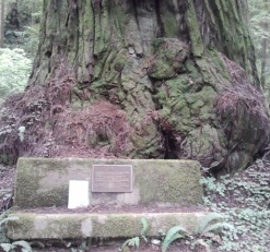 Giant old-growth redwood tree off the beaten path.