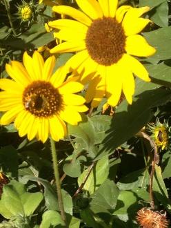 close-upsunflowers